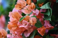 "Bougainvillea ""Dr Praetorius"" (Bri_J) Tags: butterflyhouse greenhouse copenhagenbotanicalgarden botaniskhave universityofcopenhagen copenhagen denmark københavn danmark nikon d7500 bougainvillea drpraetorius flowers pink orange"