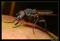 Delia platura (cquintin) Tags: arthropoda diptera anthomyiidae delia platura macroinsectes