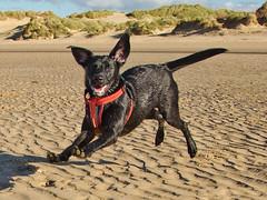 Izzy Beach (stumpyheaton) Tags: izzy dog d5100 day beach sea sand black labrador retriever formby 2018 outside october wet irish nikon 18200