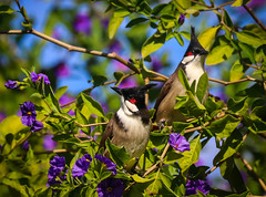 Unbelievabubul!      ....Red whiskered Bulbuls  Los Angeles Arboretum Winter Light Festival 109 (pekabo90401) Tags: redwhiskeredbulbul bubul losangelesarboretum arboretummonkey branchmonkey lightroom lind friendship fugl canon camaraderie canon80d 80d 100400 oiseau wesen vogel introducedbird arcadia chim avem manu southerncaliforniabirds birdwatching birdwatchinglosangeles pekabo90401