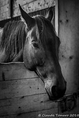 Max in black and white (Claude Tomaro) Tags: horse stable head claude tomaro ottawa ontario canada