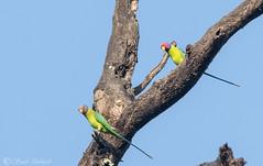 Plum-Headed Parakeet - Dandeli, Karnataka, India - Nov 2018 (Saad Towheed Photography) Tags: plum headed plumheaded parakeet dandeli karnataka india bird feather beak wing
