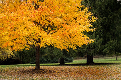 Autumn Gold 3-0 F LR 11-8-18 J044 (sunspotimages) Tags: tree trees forest autumn fall nature autumntree autumntrees falltree falltrees autumnforest fallforest plants yellow yellowtrees yellowtree yellowforest