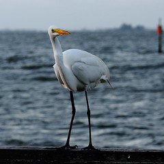 STANDING (R. D. SMITH) Tags: bird standing rail water florida crop canoneos7d square