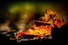 Memories (Elenovela) Tags: blätter leaves autumn herbst colouredleaves bokeh bunteblätter sonnenlicht sunlight dof