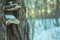 EOS_0119-1358 (DAN PHOTOGRAFIX) Tags: canon eos 6d reflex rehel stmichel paysage hiver winter sun soleil cold froid tree arbre ecorce bark snow neige glace ice ciel sky nuage cloud mush champignon