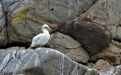 Fou de Bassan (chriscrst photo66) Tags: bird animal oiseau foudebassan colonie rocher îlerouzic bretagne nikoncoolpixp900