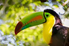 Colorful Toucan @ Manuel Antonio, Costa Rica (Thijs de Groot Photography) Tags: toekan toucan bird colorful nature thysphotography thijsdegroot thysson manuelantonio costarica forest nationalpark birds picture canon80d animals animal wildlife