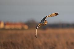 Short-Eared Owl-5295 (seandarcy2) Tags: owls shorteared owl fenland grassland cambs uk birds birdsofprey raptors handheld wildlife wild
