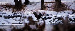Bald Eagle Mid Flight (dan.clayton) Tags: inglewoodbirdsanctuary baldeagle canadagoose canada calgary bowriver