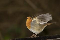 Robin (2) (Mal.Durbin Photography) Tags: wildlifephotography maldurbin naturephotography wildbirds forestfarm nature naturereserve