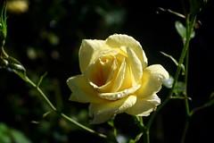 Ramat Gan     Roussel Kynor   1 : 3.5   F = 50 (情事針寸II) Tags: morningdew 朝露 yellow クローズアップ 自然 花 薔薇園 薔薇 triplet oldlens closeup bokeh nature fleur flower rosegarden rose kasteelcoloma rousselkynor135f50