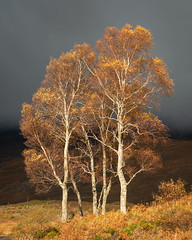 Golden Fall (APGougePhotography) Tags: scotland loch tree trees contrast fall color golden gold blue sunlight nikon nikond850 d850
