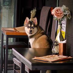 Waiting to Order (Mondmann) Tags: dog smile smilingdog restaurant seoul korea southkorea rok republicofkorea canine pet animal asia mondmann canonpowershotg7x