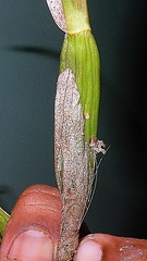 Prosthechea aemula (Lindl.) W.E.Higgins