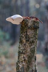 Piptoporus betulinus (R. Engelsman) Tags: piptoporusbetulinus fomitopsisbetulina fungi fungus fungo mushroom champignon pilze paddenstoel paddestoel berkenzwam berkendoder forest nature natuur macro deloonseendrunenseduinen netherlands nederland nl sigma 105mm birch