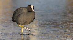 Cold Feet - Coot (Wim Boon Fotografie) Tags: bird wimboon ice winter reflectie nederland netherlands natuur alblasserwaard alblasserdam holland canoneos5dmarkiii canon300mmf4lis14ex winterlicht winterlandschap