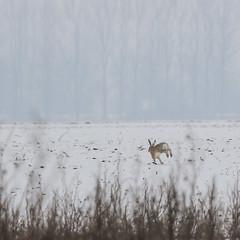 Gallop (gabormatesz) Tags: wildlife winter wintermadness canon 70200mm rabbit animal animals hare nature naturephotography snow snowfield
