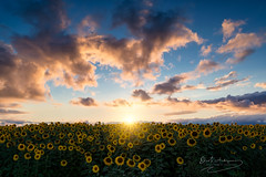 """sunsoldiers"" (Ekaitz Arbigano) Tags: ekaitz arbigano euskadi basque country spain sun sunset landscape clouds lights highlights sunflowers sky summer paisaje atardecer girasoles nubes color sol sunshine verano cultivo llanada alavesa sunsoldiers cielo"