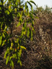 Spain Andalusia Sierra Nevada Alpujarras © Spanien Andalusien © Spain Andalusia © Andalucía La Alpujarra Granadina © (hn.) Tags: valor spain europe andalusia andalucia spanien eu europa andalusien heiconeumeyer copyright copyrighted tp2018anda es sierranevada laalpujarra alpujarras provinciadegranada alpujarragranadina españa pflanze plant natur nature vegetation flora gegenlicht backlight contraluz baum tree mandelbaum prunus prunusdulcis almond almondtree almendro árbol agriculture farming campo feld field landwirtschaft laub blatt leaf leaves blätter