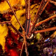 arrow crab (b.campbell65) Tags: stlucia animal arrowcrab beautiful blue caribbean colorful fish marine nature ocean outdoors reef scenic scuba sea sponges travel tropical tropicalisland underwater water