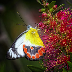 a scarlet jezebel (Fat Burns ☮) Tags: scarletjezebel deliasargenthona butterfly queenslandbutterfly redbeach bribieisland nature wildlife australianwildlife nikond500 nikon200500mmf56eedvrs