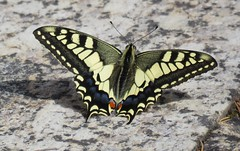 Old World swallowtail (Koninginnenpage) (Elisa1880) Tags: iphiclides podalirius papilio machaon koninginnenpage old world swallowtail butterfly vlinder portugal guimarães insect