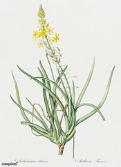 Stalked bulbine illustration from Les liliacées (1805) by Pierre Joseph Redouté (1759-1840). Digitally enhanced by rawpixel. (Free Public Domain Illustrations by rawpixel) Tags: pierre redoute redouté anthericum antique bloom blooming botany bulbine drawing flora floral flower frutescens green illustrated illustration isolatedonwhite leaves lesliliacées lilly lily name nature old pierrejosephredouté plant stalked vintage white whitebackground yellow