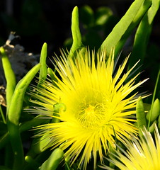 Conicosia pugioniformis (aviac) Tags: morrobay morrobaystatepark stateparkmarina california iceplant iceplantfamily aizoaceae conicosia pugioniformis invasive plant