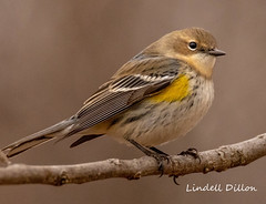 Yellow-rumped Warbler (myrtle) (Lindell Dillon) Tags: yellowrumpedwarbler winterbird bird birding oklahoma wildoklahoma