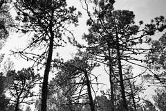 Liguria (fabiolug) Tags: pinecones pinecone trees tree trunk branches branch nature liguria ligury italy italia leicammonochrom mmonochrom monochrom leicamonochrom leica leicam rangefinder blackandwhite blackwhite bw monochrome biancoenero voigtlandernoktonclassic35mmf14 voigtlandernokton35mmf14 voigtlander35mmf14 35mm voigtlander