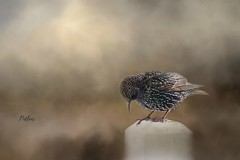 Starling with Texture.... (Patlees) Tags: starling textured dt winter 2018