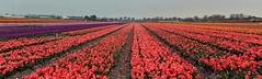 Netherlands - Pays-Bas - Lisse - autour de Keukenhof (AlCapitol) Tags: netherlands nikon d800 keukenhof paysbas lisse tulipes hollande