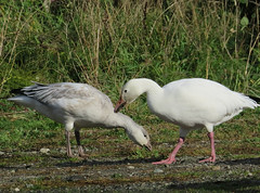 Pair of Snow Geese (Shelley Penner) Tags: birds waterbirds geese snow juvenile adult vancouverisland