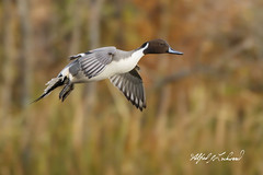 Northern Pintail_20A2664 (Alfred J. Lockwood Photography) Tags: alfredjlockwood nature duck flight drake northernpintail autumn fallcolor autumnalcolor landing whiterocklake dallas texas