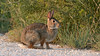 Cottontail Rabbit (AmyEHunt) Tags: cottontail rabbit bunny animal mammal nature naturephotography wild wildlife colorado