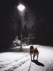 Are we in Narnia yet? (pjen) Tags: shibainu shibaken nihonken hiro dog shiba koira primitive breed spitz japanese finland 日本犬 柴犬 urajiro 10years winter snow ice lamppost animal pet jyväskylä nordic