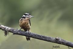 Pic chevelu - Hairy Woodpecker (Judith Lessard) Tags: oiseaux birds oiseauxducostarica birdsofcostarica pic picbois woodpecker picchevelu hairywoodpecker