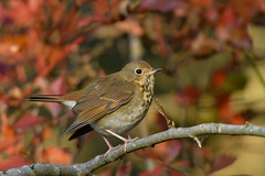 Hermit Thrush (explored 12/31/18) (jonathanirons28) Tags: hermitthrush bigwaterfarm yardbirding heth fallmigration fall2018 thrush yearofthebird maryland mdbirding queenannesmd mbpqueenstownquad nikon october 2018 d500 explored