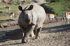 2018_02 rhino SDSP-5 (jplphoto2) Tags: jdlmultimedia jeremydwyerlindgren sandiego sandiegosafaripark blackrhino blackrhinoceros greateronehornedrhinoceros rhino rhinoceros zoo