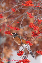 American Robin on a Mountain Ash tree (clive_bryson) Tags: americanrobin bird britishcolumbia canada berries tree clivebryson mountainash