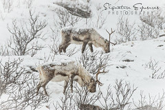 190306082059-2434 (shannbil (Signature Exposures)) Tags: northernlights aurora auroraborealis finland norway winter shannonbileski signatureexposures shannbil landscape photography reindeer