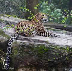 SriLankaPanter9 (Borreltje.com) Tags: panter panther bigcat bigcats srilankapanther cat cats leopard jaguar zoo burgerszoo dierentuin