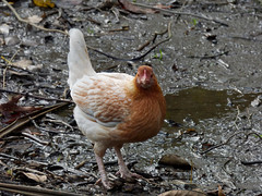 When Ponds Dry Up Do Ducks Change to Chickens? (Steve Taylor (Photography)) Tags: mud bird chicken hen brown puddle newzealand nz southisland canterbury christchurch winter wings tail