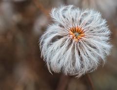 federleicht (lebastian) Tags: panasonic dmcgx8 olympus m60mm f28 macro makro blume plants pflanze