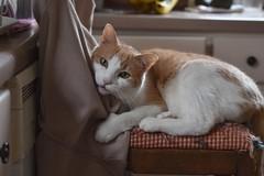 Security blanket (er, jacket) (rootcrop54) Tags: otis dilute orange ginger tabby male tall kitchen chair jacket neko macska kedi 猫 kočka kissa γάτα köttur kucing gatto 고양이 kaķis katė katt katze katzen kot кошка mačka gatos maček kitteh chat ネコ