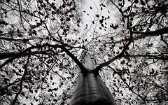 tree in the rain - view up ! (MLe Dortmund) Tags: tree grey winter regen laub himmel sky geäst foliage viewup