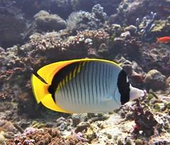 Chaetodon lineolatus (kmlk2000) Tags: maldives vacation sea ocean sealife sun blue underwater fish poisson beach reef