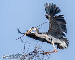 Grey heron (Ardea cinerea)-0350 (George Vittman) Tags: bird construction flight greyheron heron nest tree nikonpassion jav61photography jav61 fantasticnature