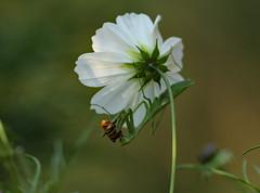 Praying Mantis (rankenhohn59) Tags: insects nature native australian animals wildlife garden green prayingmantis